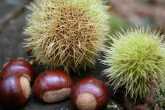Chestnuts 4. Chestnuts and their sharp needles at autumn stock photo