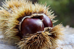 Chestnuts. Royalty Free Stock Image
