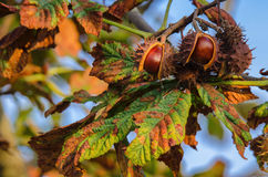 Free CHESTNUTS Royalty Free Stock Photo - 77761815