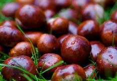 Chestnuts. In grass Stock Images