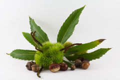 Chestnuts and acorns Royalty Free Stock Images