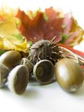 Chestnuts and acorns. Chestnut and acorns with colorful leaves on background Stock Photos