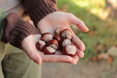 Chestnuts in arms Royalty Free Stock Images