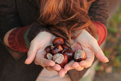 Chestnuts in arms Stock Photography