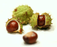 Chestnuts in autumn. Chestnuts with and without green shells in autumn Stock Photos