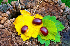 Chestnuts and autumn Stock Photography