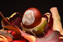 Chestnuts in autumn Royalty Free Stock Photos