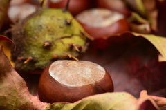 Chestnuts in autumn Royalty Free Stock Photography