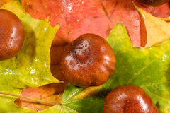 Chestnuts on autumn leaves Royalty Free Stock Image