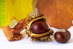 Chestnuts and autumn leaves. Two chestnuts and yellow autumn leaves Stock Image