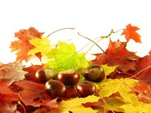 Chestnuts on autumn leaves Royalty Free Stock Photography