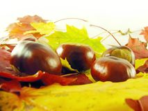 Chestnuts on autumn leaves Stock Image