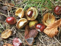 Chestnuts in autumn. Chestnuts and leaves in autumn Royalty Free Stock Photos
