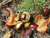 Chestnuts in autumn. Chestnuts and leaves in autumn Stock Photos
