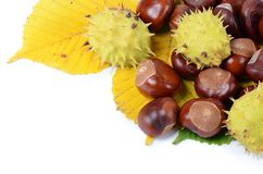 Chestnuts on autumn leaves isolated on white background Stock Images