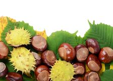 Chestnuts on autumn leaves isolated on white background Royalty Free Stock Image