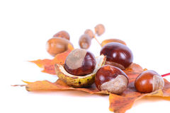 Chestnuts with autumn maple leaves Stock Photos
