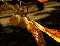 Chestnuts autumn. Royalty Free Stock Photos