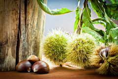 Chestnuts in autumnal atmosphere Royalty Free Stock Photos