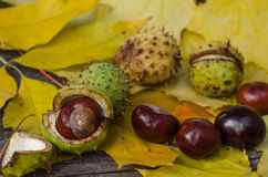 Chestnuts on a background of yellow leaves Stock Photo