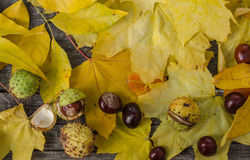 Chestnuts on a background of yellow leaves Royalty Free Stock Photos