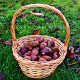 Chestnut harvest Stock Image
