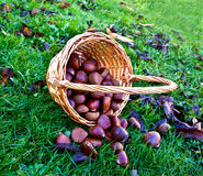 Chestnuts in basket Stock Photos