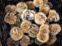 Chestnuts in a basket Royalty Free Stock Photo