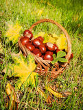 Chestnuts in a basket Stock Photography