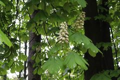 Chestnuts bloomed white flowers. The chestnut blossoms look like a candle. stock image