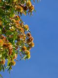 Chestnuts on the branch. Opposite the blue sky Stock Photo
