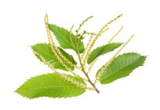 Free Chestnuts Branch Royalty Free Stock Photography - 42004427
