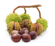Chestnuts on a branch. Stock Images