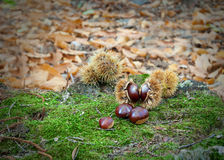 Chestnuts Stock Image