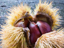 Chestnuts in a burr Royalty Free Stock Photos