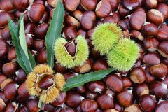 Chestnuts with burrs Royalty Free Stock Images
