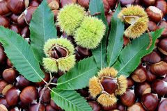 Chestnuts with burrs Royalty Free Stock Photography