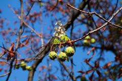 Chestnuts and chestnut flower growing on the same branch stock photos