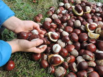 Chestnuts and children hands Stock Photos