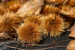 Chestnuts close up Stock Photos