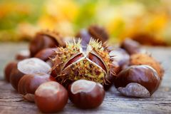 Chestnuts, horse chestnut, Aesculus hippocastanum Royalty Free Stock Photography