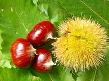 Chestnuts composition Stock Photos
