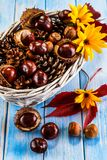 Chestnuts and cones in basket. On wooden background Stock Photos