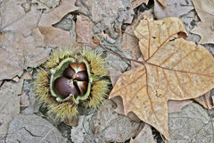 Chestnuts Stock Photography