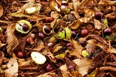 Chestnuts. Detail of fallen chestnuts from the tree stock photo