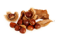 Chestnuts, dried leaves and husk. Group of chestnuts, dried leaves and husk open arranged on white background Stock Photography