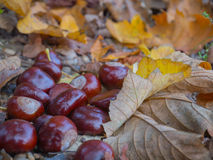 Chestnuts. And dry leaves in autumn time Stock Images