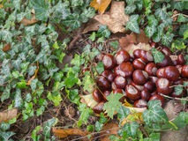 Chestnuts. And dry leaves in autumn time Royalty Free Stock Images