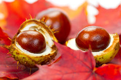 Chestnuts on fall leaves Stock Photos