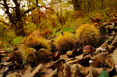 Chestnuts in a forest in Tuscany, Italy. fall season. Italy Stock Image